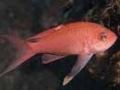 Anthias anthias - Castagnola rossa